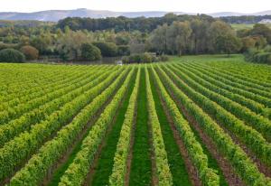albourne-vineyard-001