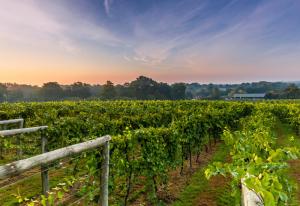 bolney-vineyard-001