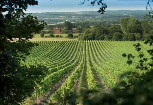 chapeldown-vineyard-001