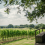 gusbourne-vineyard-001