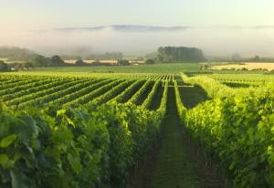 nyetimber-vineyard-001