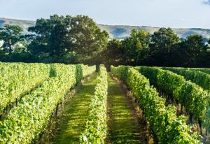 ridgeview-vineyard-001