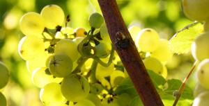 stopham-vineyard-001
