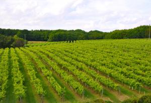 Biddenden Vineyard, Kent